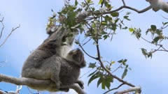 a mother and baby koala eating leaves at cape otway on the great ocean road in victoria, australia