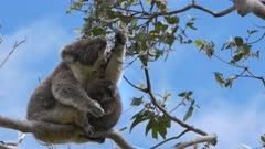 mother feeding and a baby koala looking at the camera at cape otway on the great ocean road, victoria