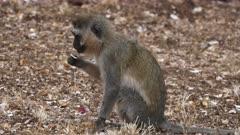 a ververt monkey sitting on the ground holds a leaf in amboseli national park, kenya