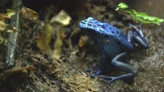 close up side on shot of a blue poison frog in washington d.c.