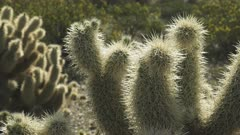 close up of the spines on a jumping cholla cactus at organ pipe cactus national monument near ajo in arizona, usa
