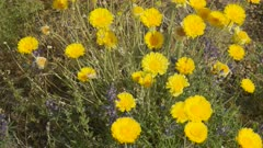 close up of desert marigold flowers growing in organ pipe cactus national monument near ajo in arizona, usa