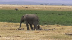 an elephant calf scratching on a tree stump in amboseli national park, kenya