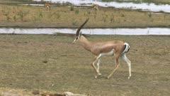 tracking shot of a grants gazelle in amboseli national park, kenya
