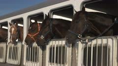 wide shot of several horses in a trailer near quartzite, az