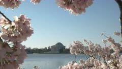 the jefferson memorial framed by pink cherry blossoms in washington d.c.
