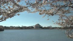 morning view of the jefferson memorial framed by cherry blossoms in washington d.c.