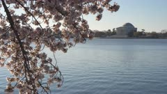 panning shot of cherry blossoms sunlit from the tidal basin and the jefferson memorial in washington d.c.