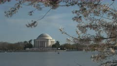 medium angle afternoon shot of the jefferson memorial with cherry blossoms in washington d.c.