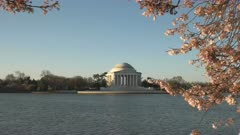 spring morning view of the jefferson memorial and flowering cherry trees in washington d.c.