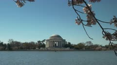 morning panning shot of the jefferson memorial and cherry trees in bloom in washington d.c.