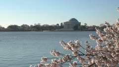 zoom out shot of the jefferson memorial and cherry blossoms on a spring morning in washington d.c.