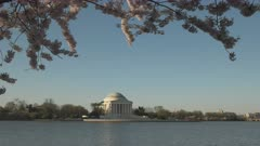 medium angle shot of the thomas jefferson memorial in washington d.c. with cherry blossoms on a sunny spring morning