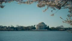 washington d.c's thomas jefferson memorial with cherry blossoms branches above it