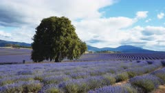 3 axis gimbal shot walking in a field of lavender in bloom at a farm in tasmania, australia
