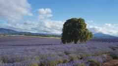 afternoon pan of rows of flowering lavender in north east tasmania, australia