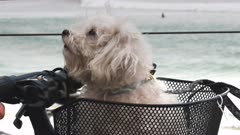 close up of a maltese terrier in a bicycle basket at kirra on the gold coast of queensland, australia