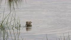 a marsh sandpiper feeds in a wetland at amboseli national park, kenya