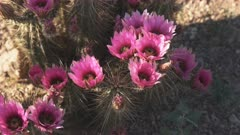 close up of strawberry hedgehog cactus flowers at organ pipe cactus national monument near ajo in arizona, usa