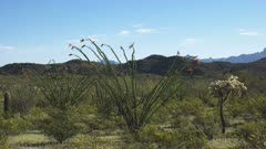wide shot of an ocotillo cactus growing in the desert at organ pipe cactus national monument near ajo in arizona, usa