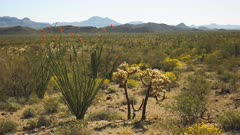 ocotillo and cholla cactus in the sonoran desert of organ pipe cactus national monument near ajo in arizona, usa