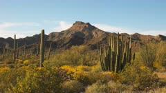 organ pipe cactus and ajo mnts at organ pipe cactus national monument near ajo in arizona, usa