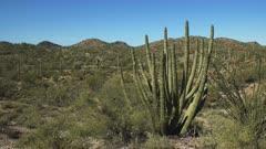 close up of an organpipe cactus at organ pipe cactus national monument near ajo in arizona, usa