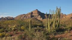 pan of organ pipe cactus and ajo mountains at organ pipe cactus national monument near ajo in arizona, usa