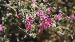 close up of pretty pima rhatany flowers in organ pipe cactus national monument near ajo in arizona, usa
