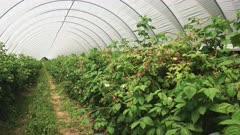 zoom in shot of raspberries growing in a greenhouse westerway, tasmania