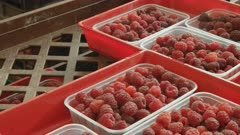 close up pan of raspberry punnets in a packing room at westerway in tasmania, australia