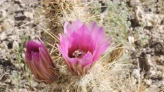 honey bee inside a strawberry hedgehog cactus flower at organ pipe cactus national monument near ajo in arizona, usa