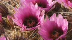close up of  several strawberry hedgehog cactus flowers in organ pipe cactus national monument near ajo in arizona, usa