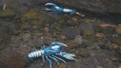 two lamington spiny crays in a mountain stream at queensland's lamington national park, australia