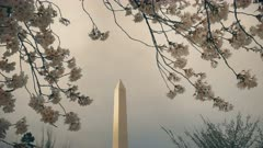 close up of the washington monument and cherry blossoms in washington d.c..