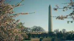 panning shot of the washington monument and cherry blossoms in washington d.c.