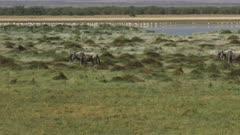 several wildebeest walking in line near a lake in amboseli, kenya