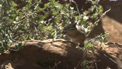 close up of a chipmunk feeding at zion national park in utah, usa