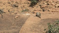 a chipmunk grooming on a rock shelf at zion national park in utah, usa