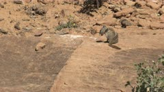 chipmunk running out of shot at zion national park in utah, usa