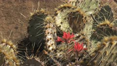 close up of an indian paintbrush flower and cactus at canyonlands at canyonlands national park in utah, usa