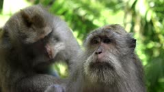 close up of a macaque being deloused by another at the monkey forest in ubud on the island of bali, indonesia
