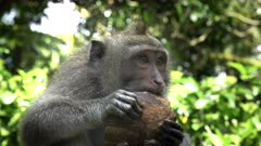 close up of a macaque eating a coconut at the monkey forest in ubud on the island of bali, indonesia