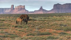 two horses fighting by kicking each other at monument valley in utah, usa