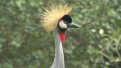 close up of a grey crowned crane
