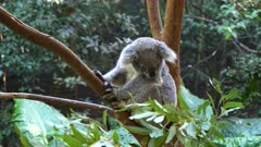 high angle shot of a koala in a tree looking around at blackbutt reserve in newcastle, australia