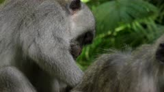 proile shot of a macaque delousing another at ubud monkey forest on the island of bali in indonesia