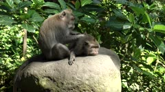 a long tailed macaque lies on its stomach as it is deloused by another macaque at ubud monkey forest  on the island of bali in indonesia