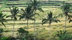 long shot of a worker at jatiluwih rice terraces on bali, indonesia