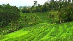 young rice plants and coconut palms growing near jatiluwih terraces, bali